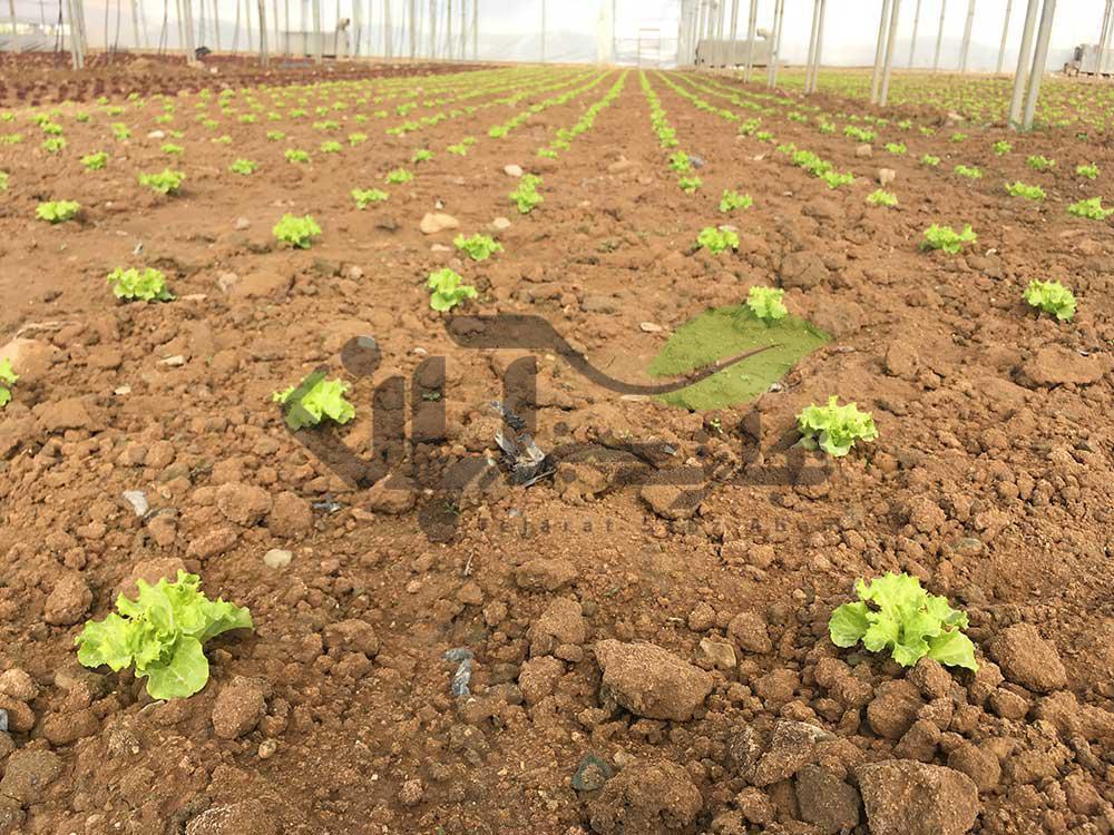 نشاء کاهو فرانسوی کشت شده در گلخانه