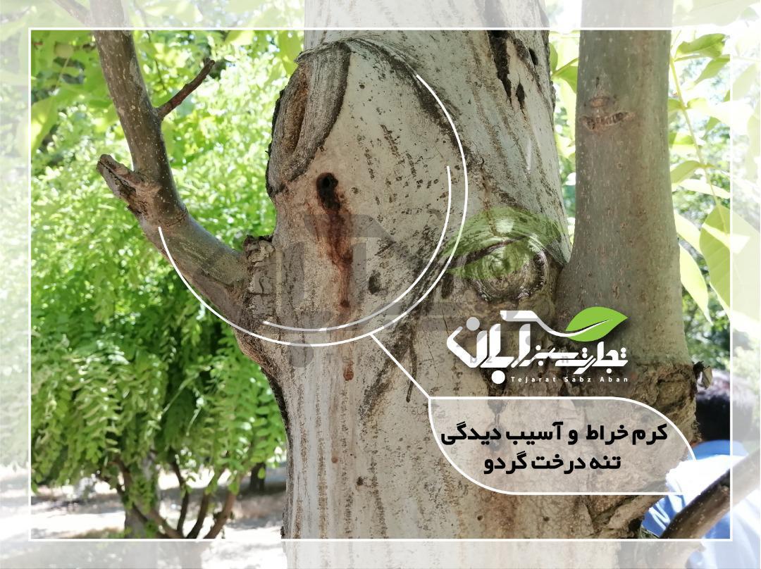 کرم خراط و آسیب دیدگی تنه درخت گردو