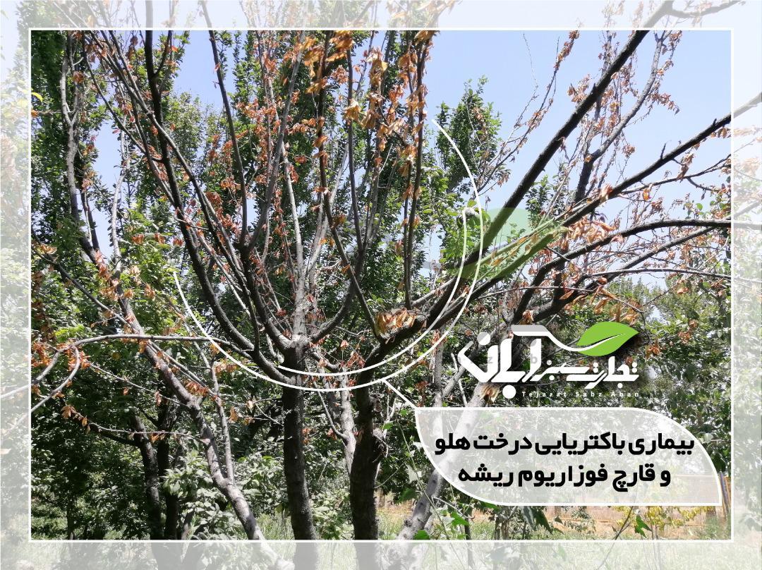 بیماری باکتریایی درخت هلو و قارچ فوزاریوم ریشه