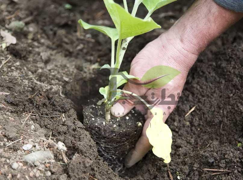کاشت نشاء در زمین اصلی
