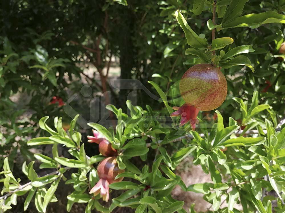 بازدید از باغ انار