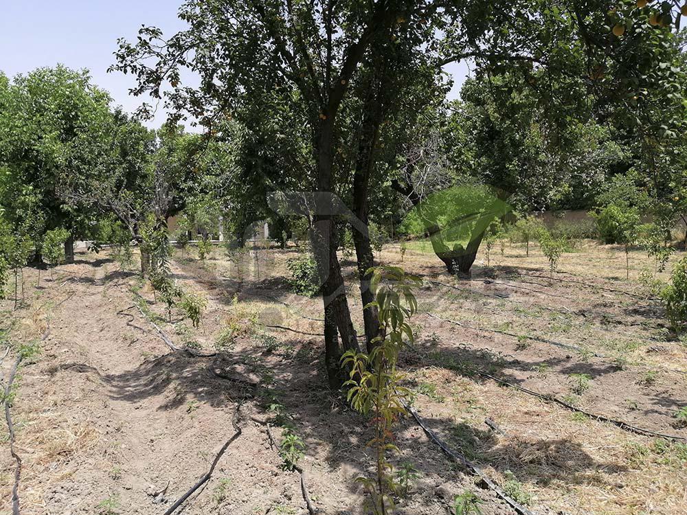 باغ میوه شلیل