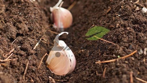 کاشت سیر در خاک
