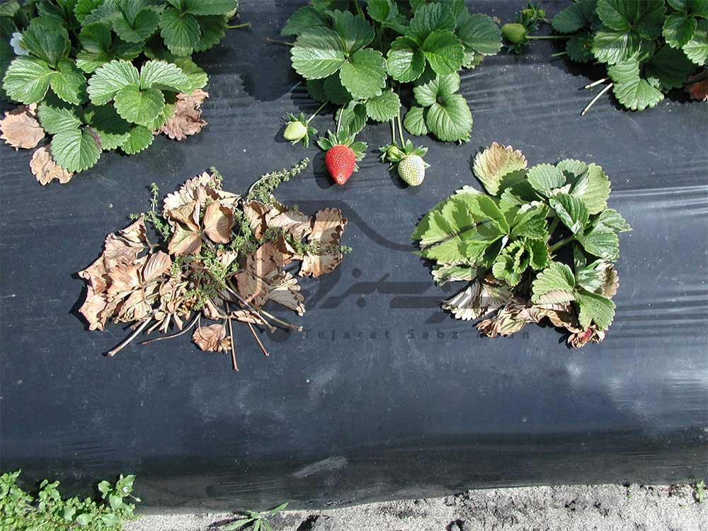 فوزاریوم توت فرنگی در مزرعه
