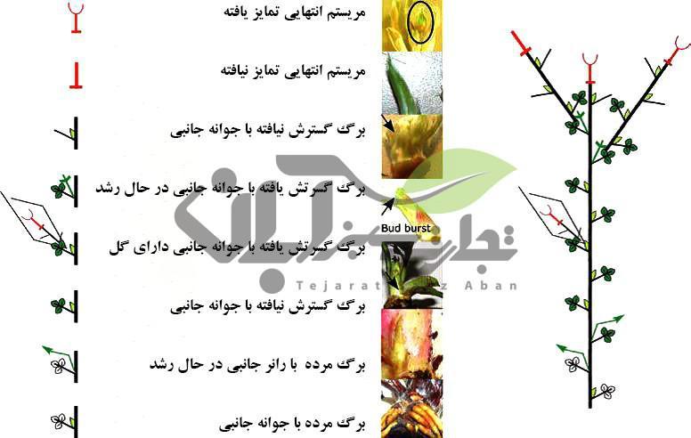 نمایش شماتیک ساختمان گیاه توتفرنگی