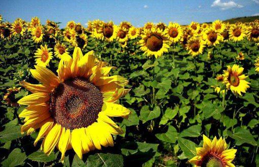 مزرعه گل آفتابگردان