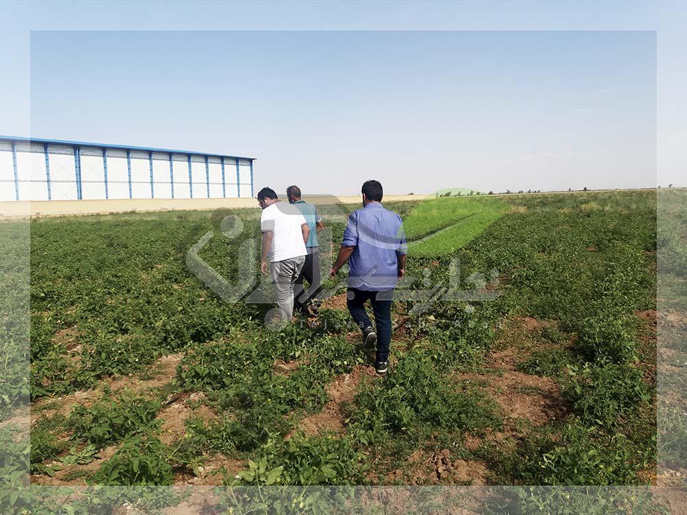 بازدید از مزرعه گوجه فرنگی و ملون