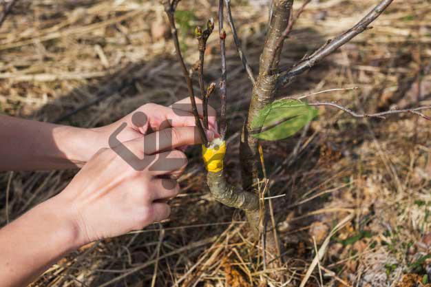پیوند پایه و پیوندک در درخت