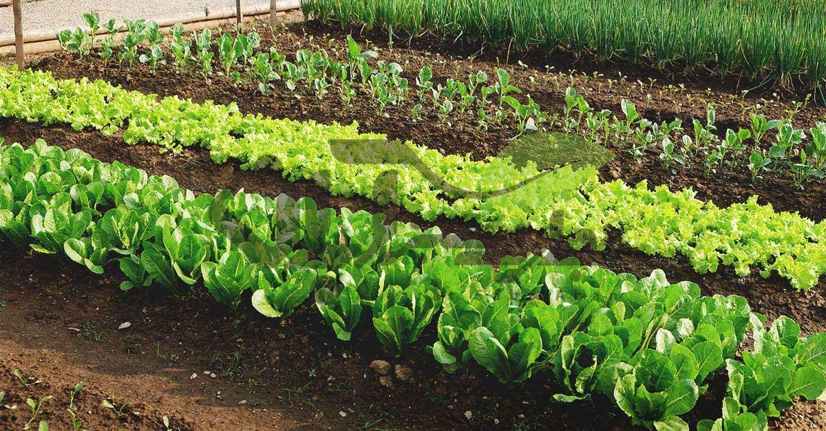 کشت همراه یا چند محصول در مزرعه