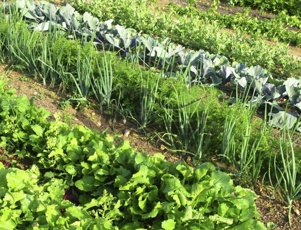 کاشت چند محصول در یک زمین