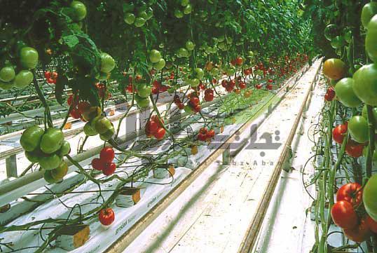 آبیاری در سیستم هیدروپونیک گلخانه گوجه
