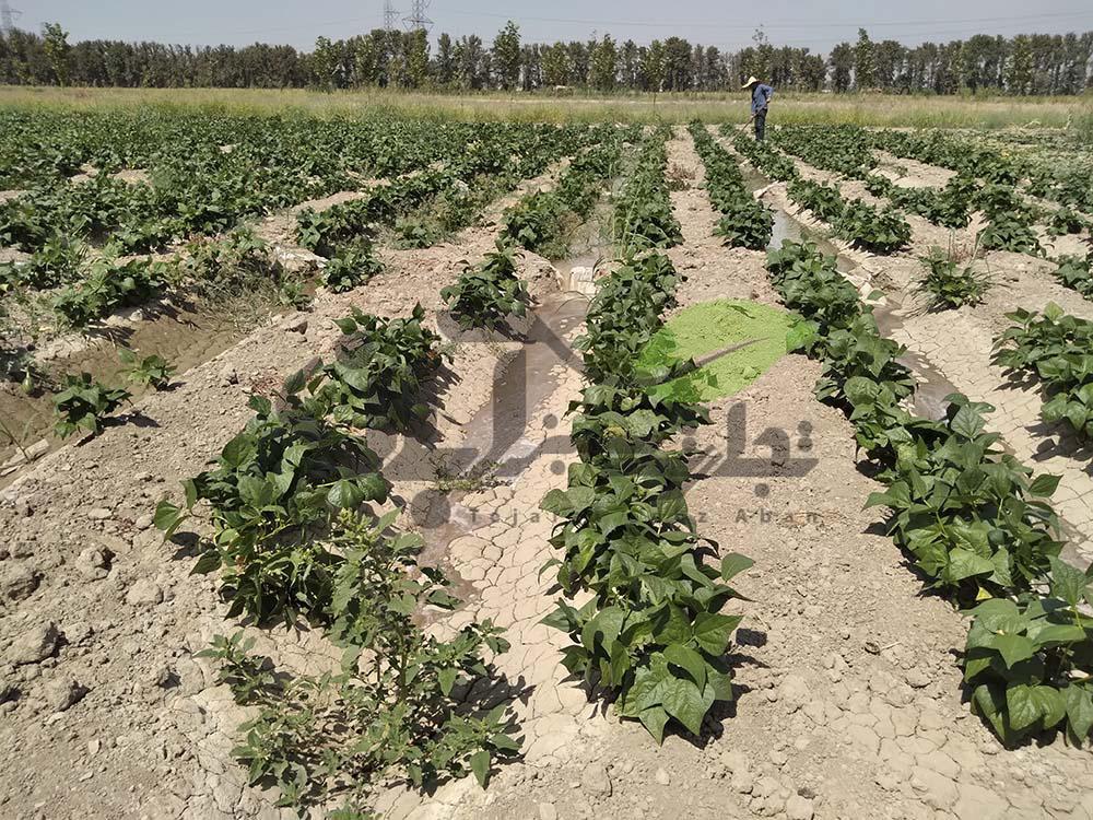 مزرعه لوبیاسبز