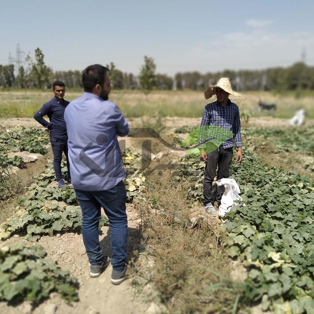 بازدید از مزرعه خیار و لوبیاسبز