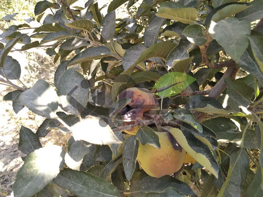 بازدید از باغ سیب