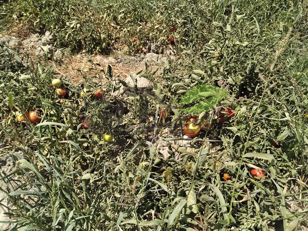 بازدید از مزرعه گوجه