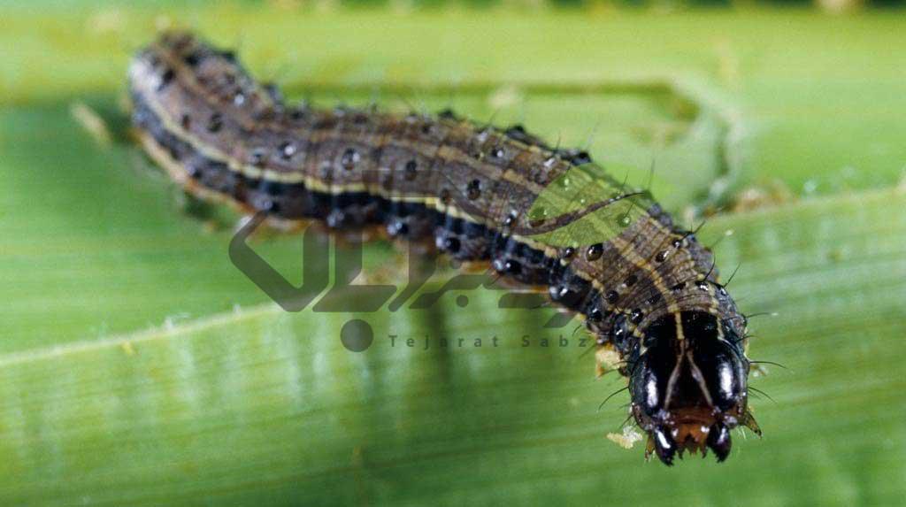کرمهای ارتشی Armyworms