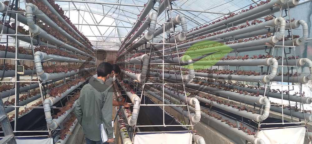 گلخانه کشت کاهو با تکنولوژی آب NFT