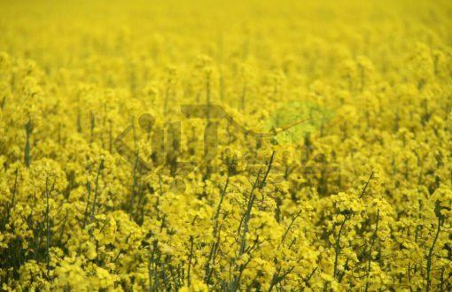 مزرعه کلزا با گلهای زرد