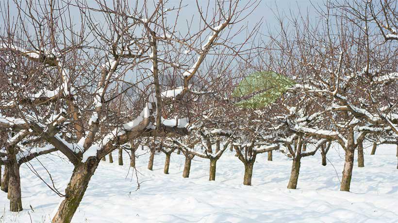 نحوه مراقبت از درختان میوه در زمستان