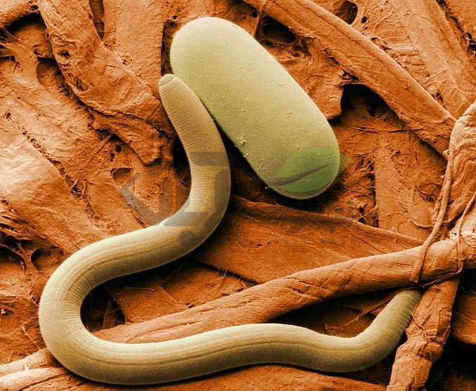 کرم انگل گیاهی که در ریشه باعث ایجاد غده میشود