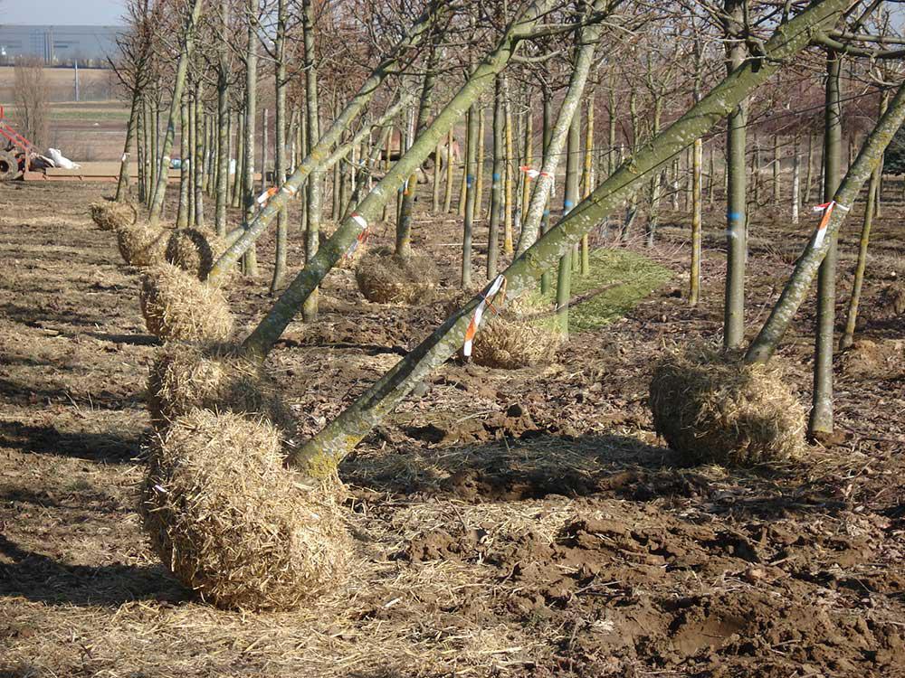 درخت ریشه لخت آماده کاشت