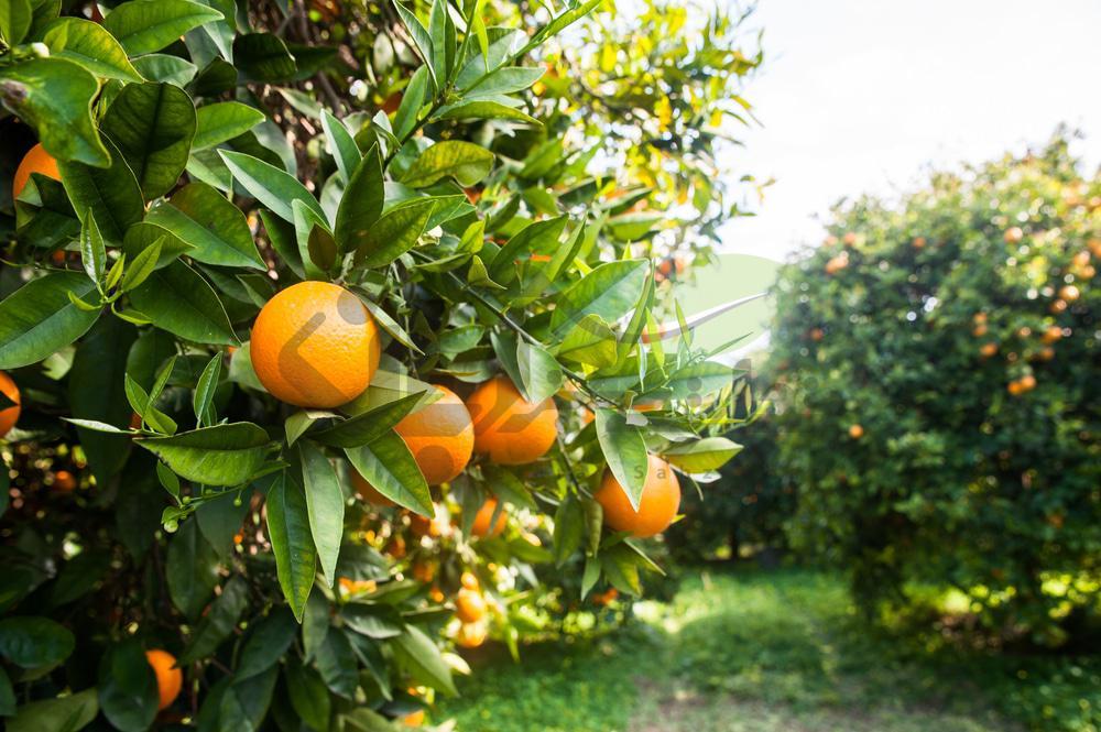تاثیر کمبود بور در میوه پرتقال