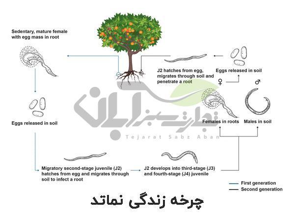 چرخه زندگی نماتد در خاک