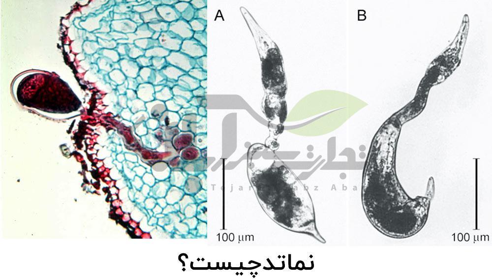 نماتد زیر میکروسکوپ