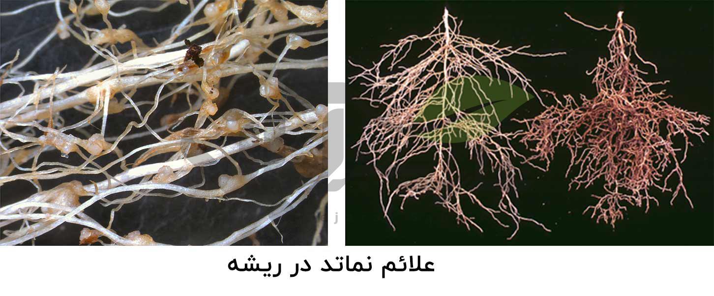 بیماری نماتد در ریشه