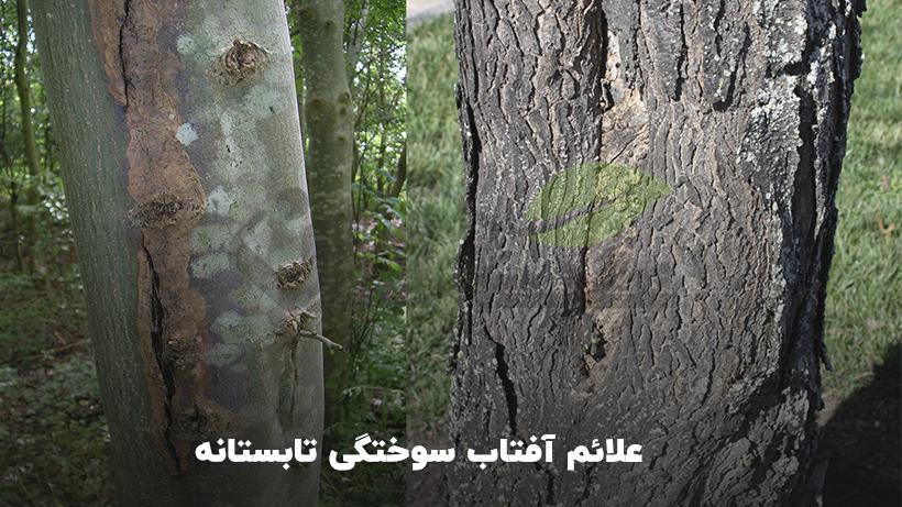 علائم سوختگی درختان در تابستان