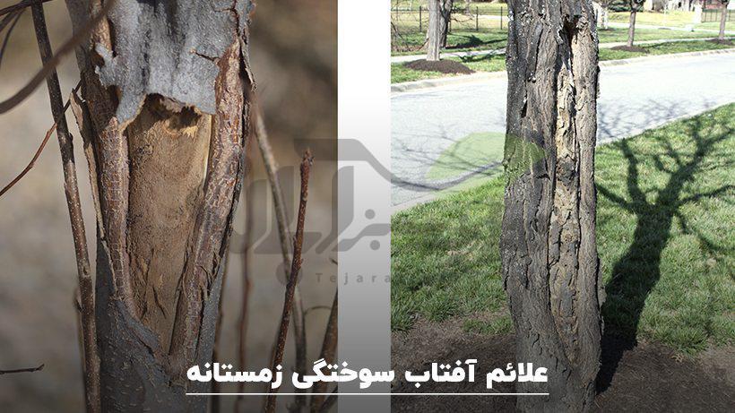 علائم آفتاب سوختگی درختان در زمستانه