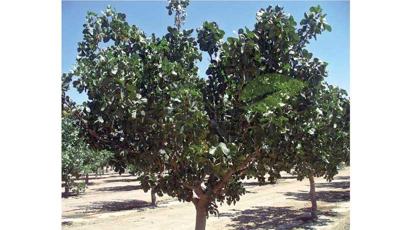 درخت پسته