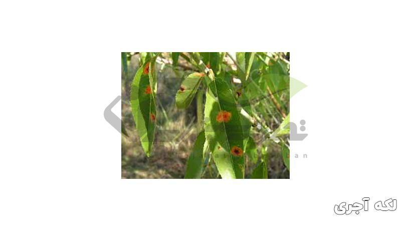 بیماری لکه آجری بادام درختی