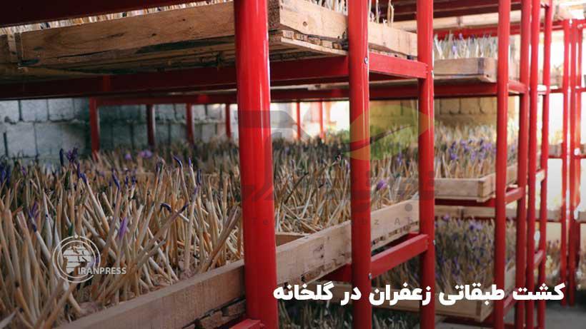 کشت گلخانهای زعفران