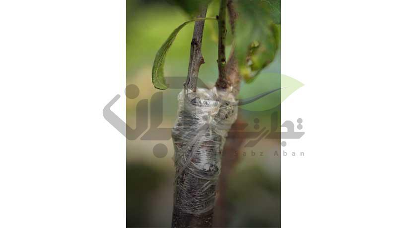 تکثیر درخت بادام