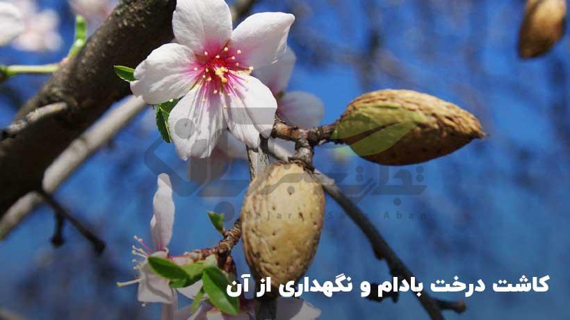 کاشت درخت بادام و نگهداری از آن