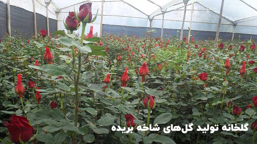 پرورش و تولید گل های شاخه بریده