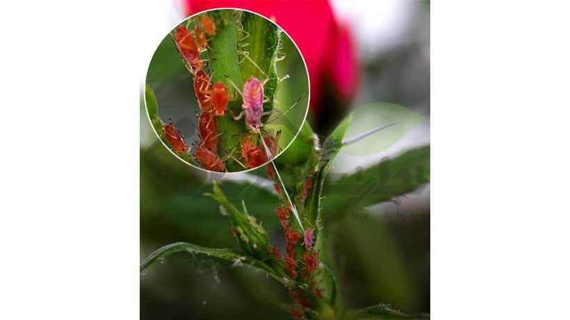 حشرات روی گل و گیاهان زینتی