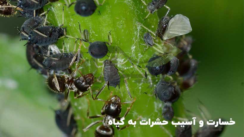 خسارت حشرات روی محصولات کشاورزی