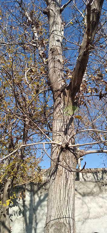 تشخیص بیماری در درخت گردو