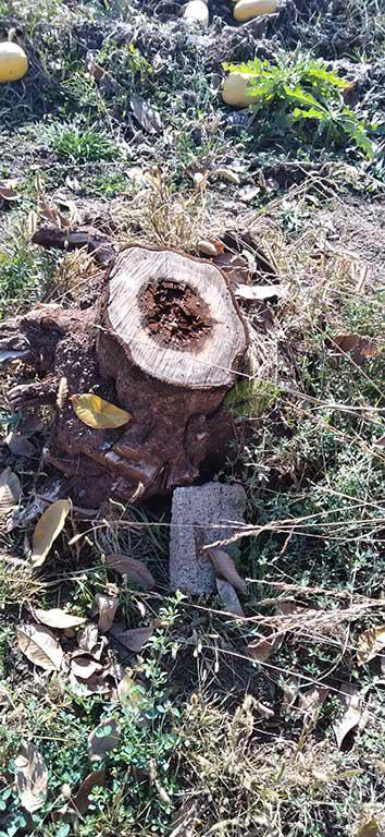 بیماری در طوقه درخت