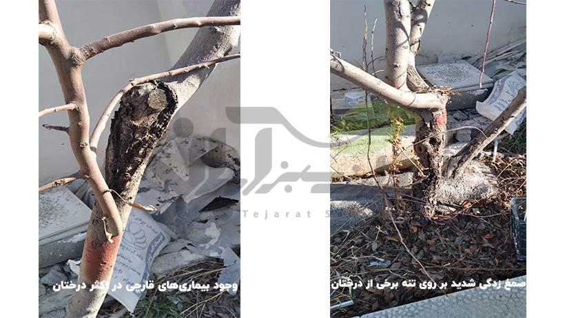 صمغ زدگی و بیماری قارچی بر روی تنه درخت
