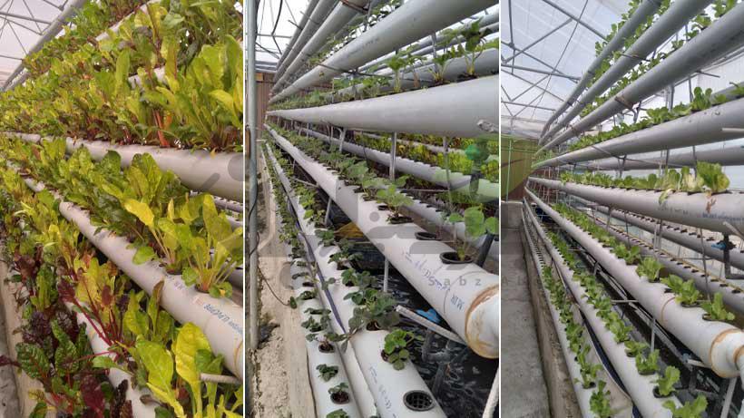 گلخانه هیدروپونیک توت فرنگی و سبزیجات